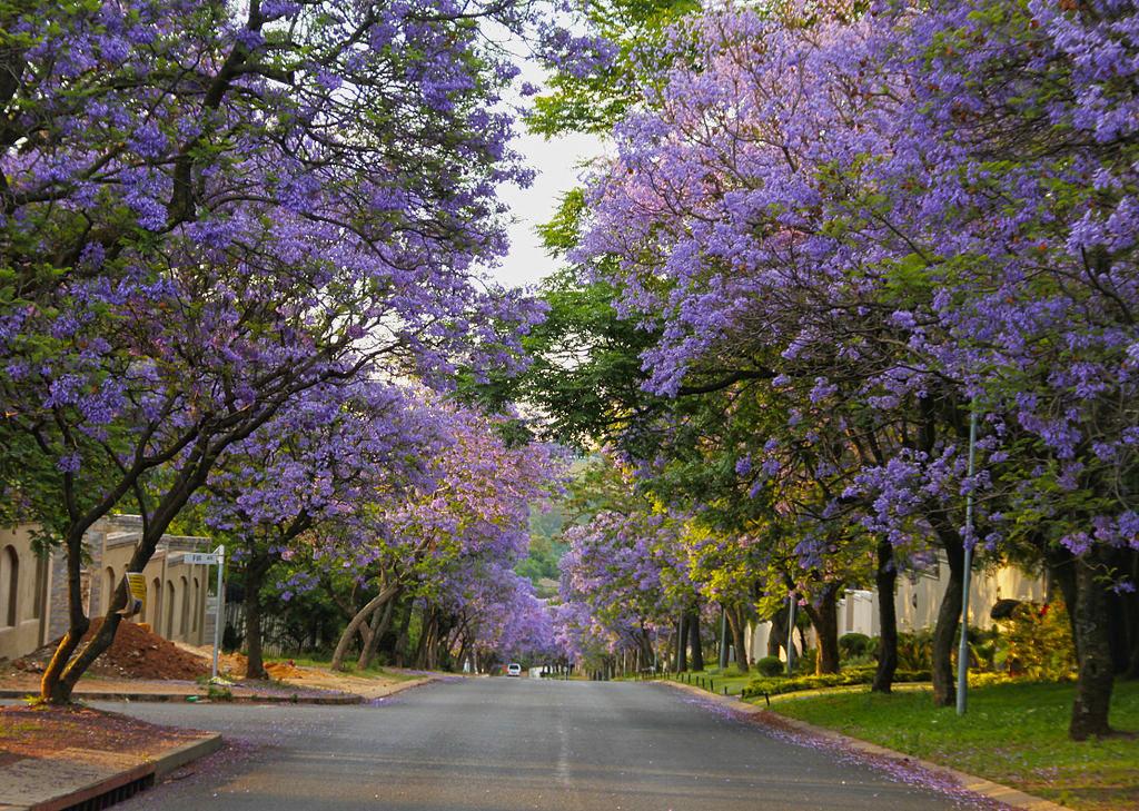 purple-jacarandas